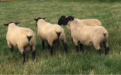 RAMS FOR SALE from BENTLEY FLOCK