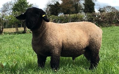 RAM LAMB FOR SALE from LIMESTONE FLOCK