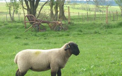 EWE LAMB FOR SALE from TEMPLERHYD FLOCK