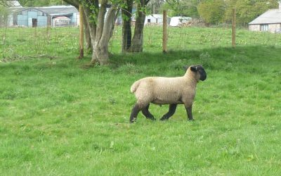 RAM LAMB FOR SALE from TEMPLERHYD FLOCK