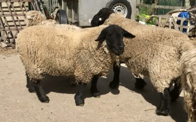 STOCK FOR SALE – Amberwell Flock