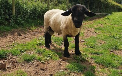 – SOLD – SHEARLING RAM FOR SALE from CASTLELOCH FLOCK